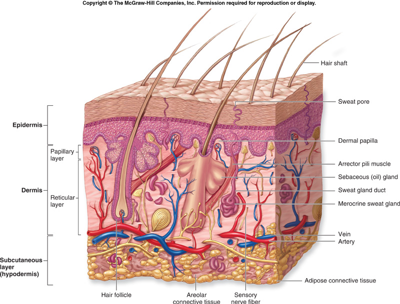 integumentary system research paper Read this essay on the integumentary system come browse our large digital warehouse of free sample essays get the knowledge you need in order to pass your classes.